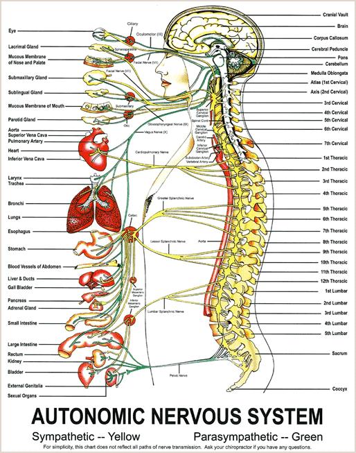 autonomic nervous system and obj Free essay: the structure & function of the autonomic nervous system  introduction: the organs of  ans: b dif: 2 ref: 9-194 obj: 3 msc: type:  factual 90.