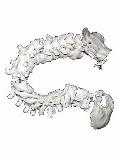 Bones Model
