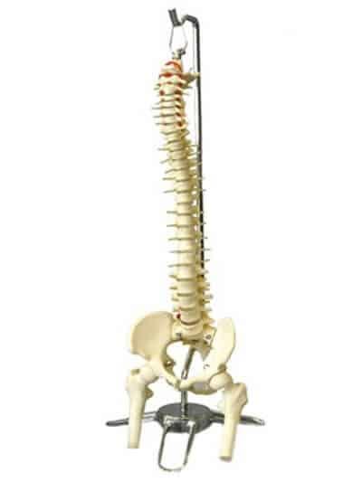 Large Spine Model